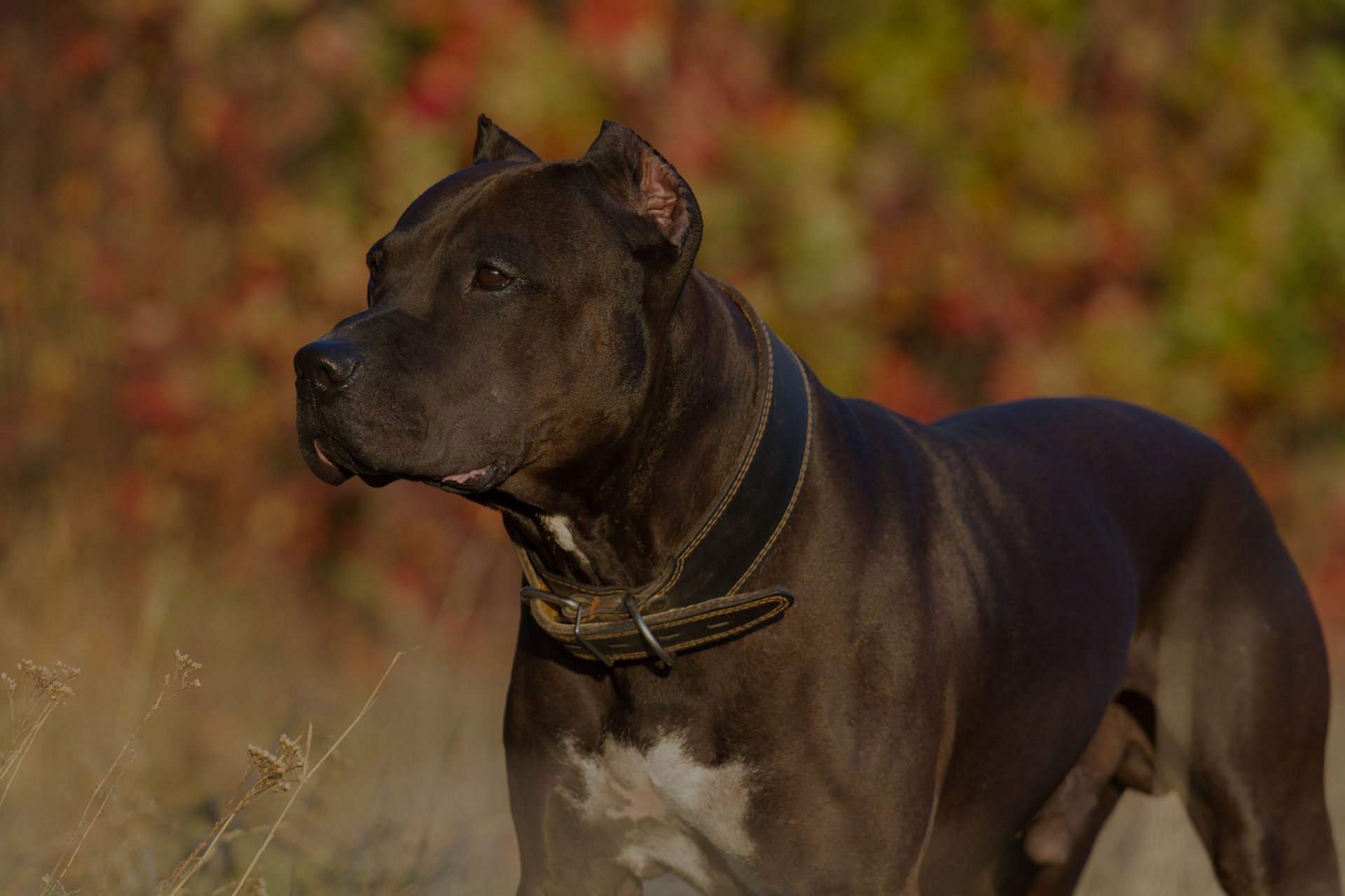 Pitbull dog in autumn park