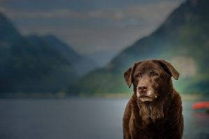 Chocolate Labrador Retriever senior dog against mountain lake