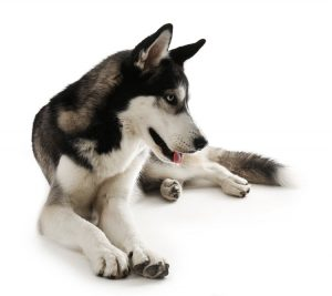 Siberian Husky lying isolated on white