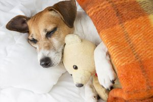 Cute smiling pleased little dog is sleeping in an embrace with a toy Teddy bear