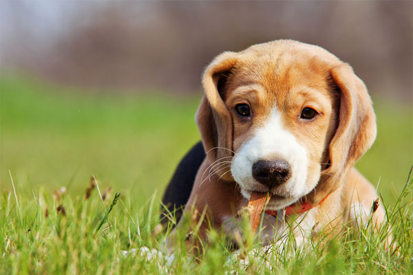 Cute little beagle puppy playing in green grass