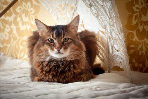 Rudy somali cat portrait under lace umbrella on vintage background