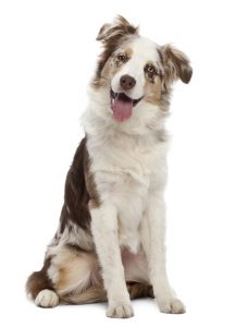 Australian Shepherd puppy, 6 months old, sitting against white background - Image