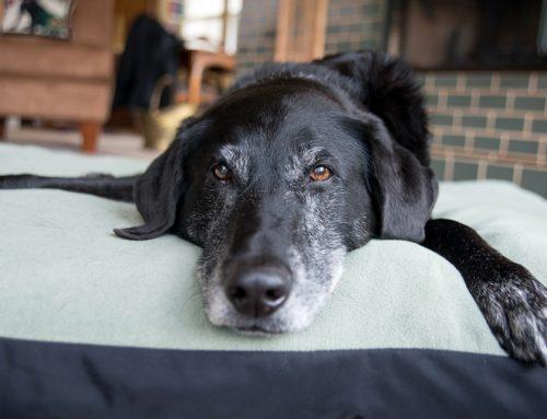 Dementia 101: How to Help Your Senior Pet